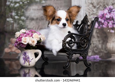 Beautiful young male dog Continental Toy Spaniel Papillon , breed papillon puppy