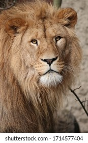 Beautiful young male lion in zo