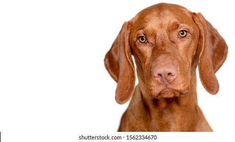 Beautiful young male magyar vizsla dog studio portrait. Vizsla pointer dog face close up against white background.