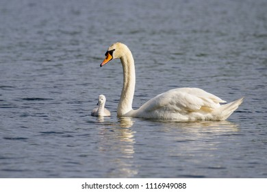 Beautiful young Mute Swan Cygnet (Cygnus olor) on river, Marlow, United Kingdom