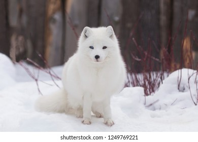 Beautiful young odd-eyed Arctic fox in its white winter fur sitting in snow staring intently with wooden fence in soft focus background