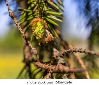 Beautiful young pine macro