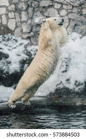 Beautiful Young Polar Bear Jumping in the water from glacier