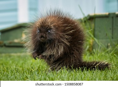 A Beautiful Young Porcupine Sitting Upright