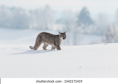 beautiful young puma walking in snow in winter landscape