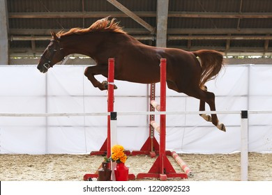Beautiful young purebred horse jump over barrier. Free jumping in the riding hall