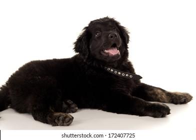 beautiful young purebred labrador