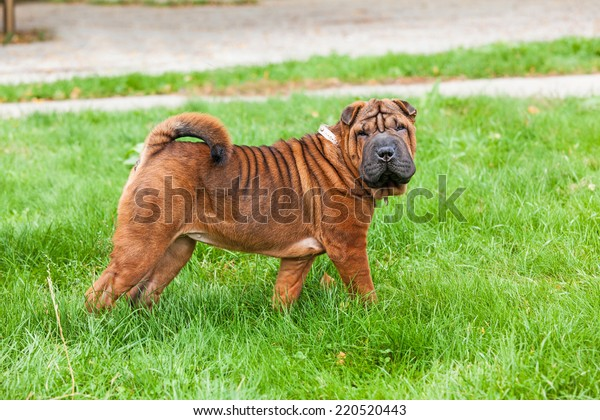 A beautiful, young red fawn Chinese Shar Pei dog standing on the lawn, distinctive for its deep wrinkles and considerd to be a very rare breed
