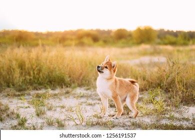 Beautiful Young Red Shiba Inu Puppy Dog Standing Outdoor In Meadow During Sunset.