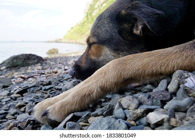 Beautiful young shepherd dog sleeping on a pebble beach near a cliff