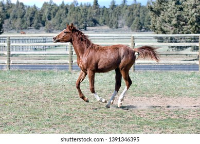 A beautiful young sorrel or chestnut horse frolics in a green summer grass pasture in the countryside.