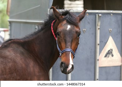Beautiful young sport horse looking back in front of a special horse trailer before training