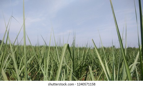 Beautiful young Suger cane farm