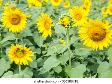 The beautiful young sunflowers blooming on sunlight.