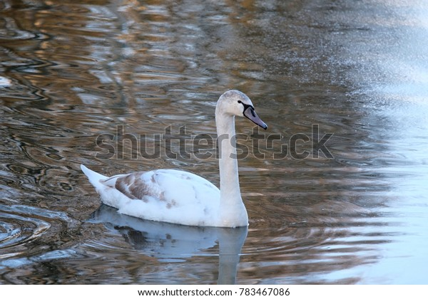 beautiful young swan on a pond