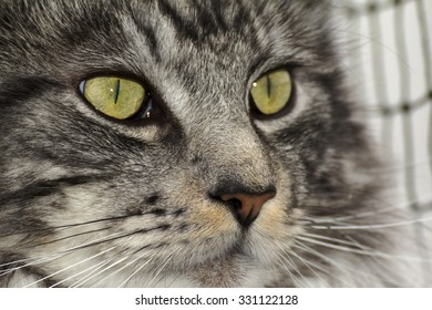 A beautiful young tabby Maine Coon