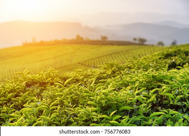 Beautiful young upper fresh bright green tea leaves at tea plantation at sunset. Scenic tea bushes are visible in background. Amazing rural landscape.