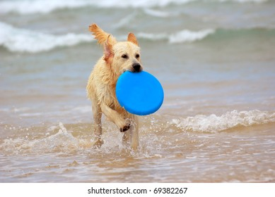 A beautiful young wet thoroughbred Golden Retriever dog playing with a blue frisbee and running in the water.