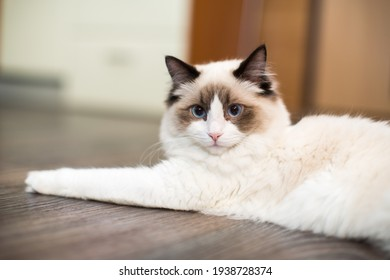 Beautiful young white purebred Ragdoll cat with blue eyes, at home.