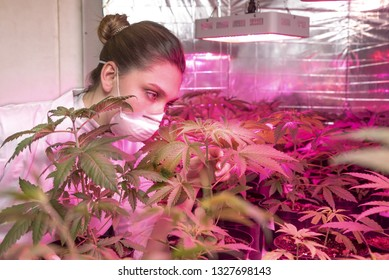 Beautiful young woman with professional protection mask in a industrial hemp plantation checking  and care cannabis plants and flowers. Agriculture and nature concept of legal cbd marijuana.