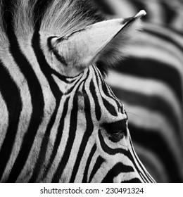 beautiful Zebra Background
