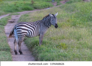 A Beautiful Zebra in Savannah Grasss Lands
