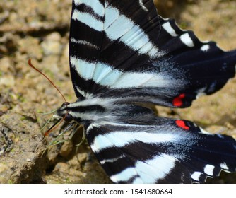 Beautiful Zebra Shallow-tail butterfly in spring
