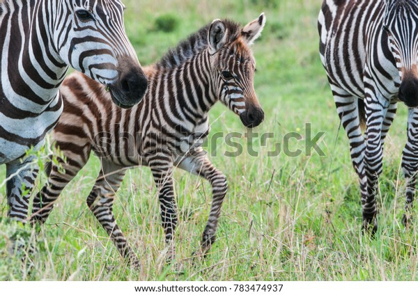 Beautiful zebras standing and eating on a grass field in Maasai Mara reserve in Kenya