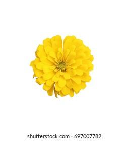 Beautiful Zinnia flower isolated on white background