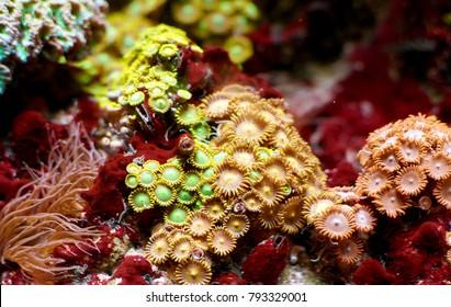 Beautiful Zoanthus coral and anemone in saltwater aquarium