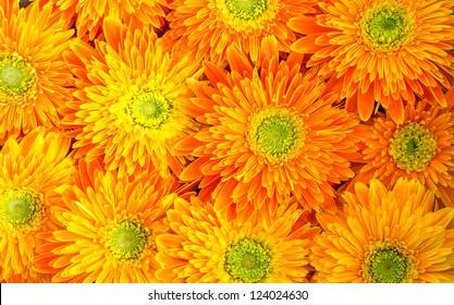 beautiful-daisy-gerbera-flowers