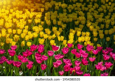 Beautifull blooming of pink and yellowl tulips in the garden. Tulips farm in the morning.