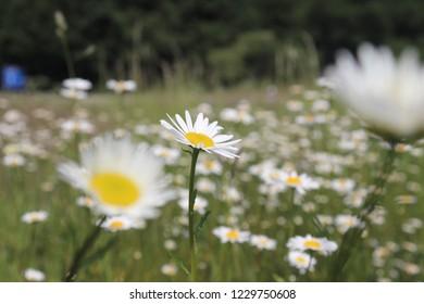 Beautifull Daisy Flowerfield