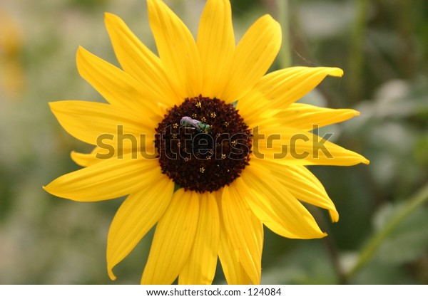 Beautifull fly on Sun Flower