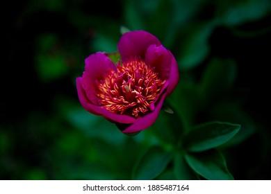 Beautifull fucshia pink peony Anemoniflora