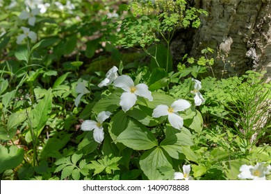 A Beautifull north American flower White Trillium flower (Trillium grandiflorum), also know as wake - robin,symbol of Ontario,Canada  and  state wild flower of Ohio . In forest of Wisconsin.
