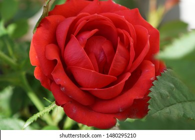 A beautifull red rose macro