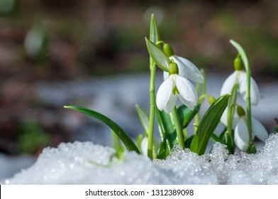 Beautifull snowdrop flower growing in snow in early spring forest. Tender spring flowers snowdrops harbingers of warming symbolize the arrival of spring