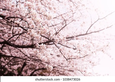 Beautifull spring cherry blossom fading in to pastel pink and white background. Shallow depth of field. Yoshino Cherry.