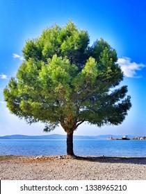 Beautifull tree with sea backraund in Croatia.
