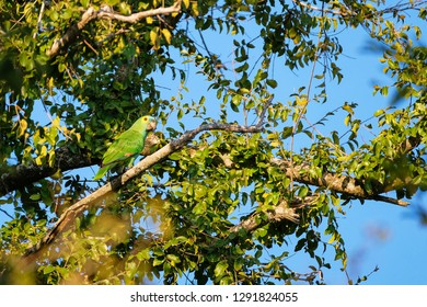 Beautifull vivid blue or turquoise fronted green parrot, Amazona Aestiva, in rainforest, Mato Grosso, Pantanal, Brazil, South America