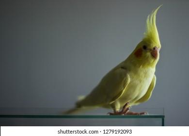 beautifull yellow cockatiel
