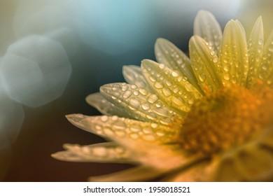 Beautifull yellow flower after the rain - Shutterstock ID 1958018521