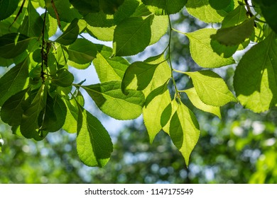 Beautifully backlit green leaves, good background