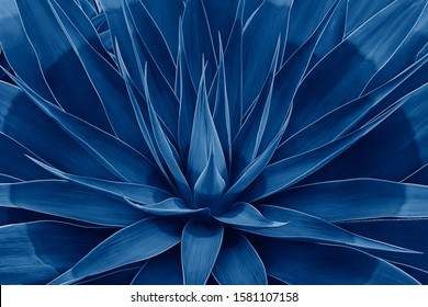 Beautifully bloomed agave leaves like lotus flower. Natural floral pattern agave plant succulent concept. Toned image with trend color of 2020 year Classic blue