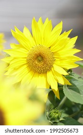 beautifully bloomed sunflowers in the garden - Shutterstock ID 1992505673