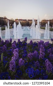 Beautifully blown purple flowers in the park near National Palace of Culture in Bulgaria with cloudless sky in early summer and clear fountain water stretching to the sky with buildings behind concept