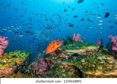 Beautifully colored Coral Grouper swimming amongst tropical fish on a healthy coral reef