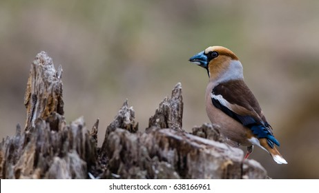 The beautifully colored Hawfinch (Coccothraustes coccothraustes) perching on the stub and showing his profile and back with the short tail and big strong beak.
