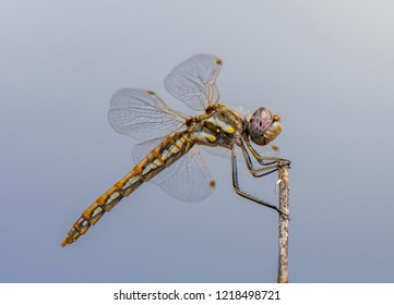 A beautifully colored Variegated Meadowhawk dragonfly perched on the tip of a stem.